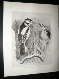 Frohawk 1898 Antique Bird Print. Great Spotted Woodpecker